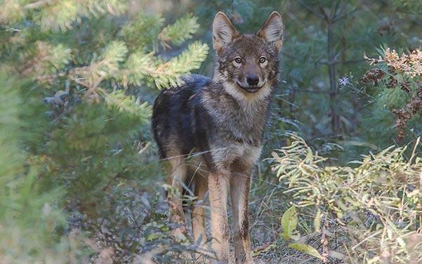 Wolfs Hund