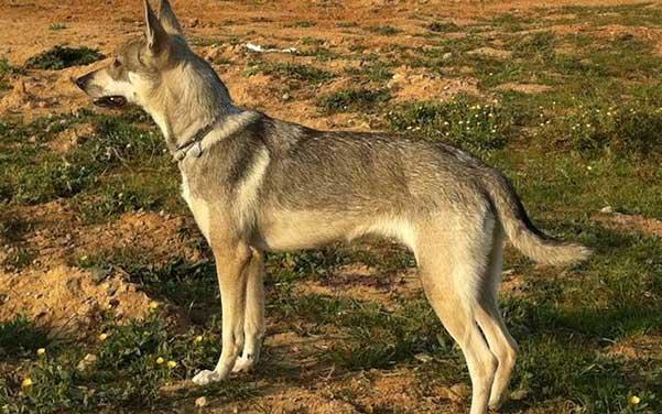 Lobo Herreno Wolfshybrid Wolfshund Hunderassen