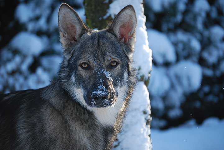 marxdorfer wolfshund