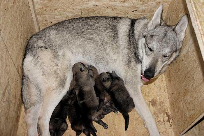 Tschechoslowakischer Wolfshund Wolfshybrid Wolfshund Hunderassen
