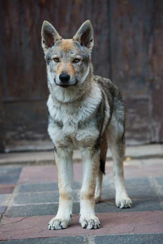 Russischer Wolfshund