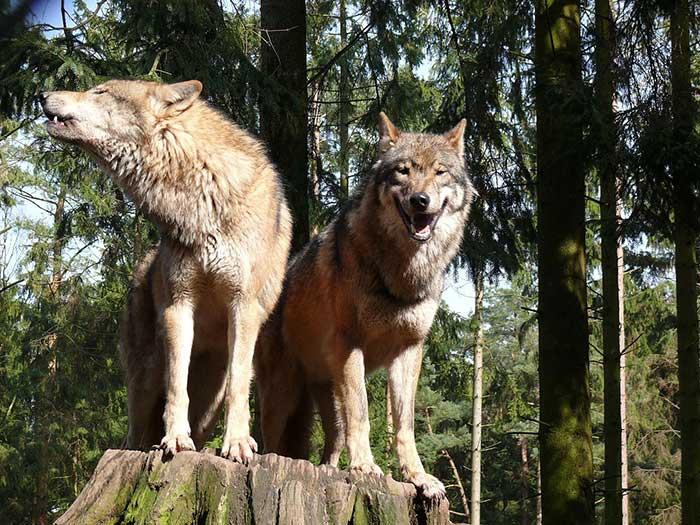 Der Wolf Wolfshybrid Wolfshund Hunderassen